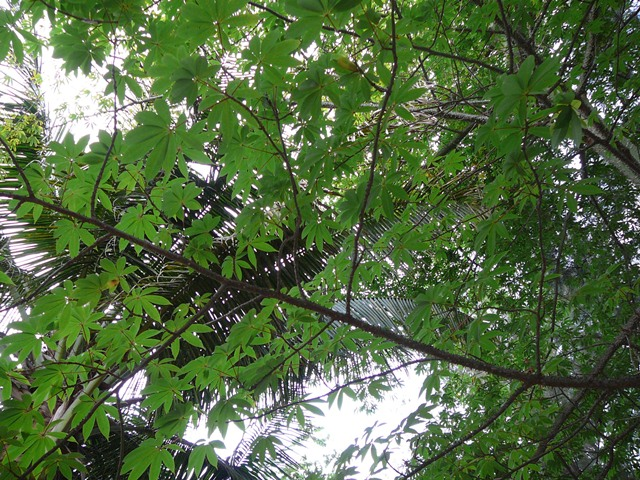 The Kapok Tree