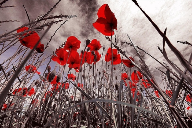 Red Poppies at ANZAC Day