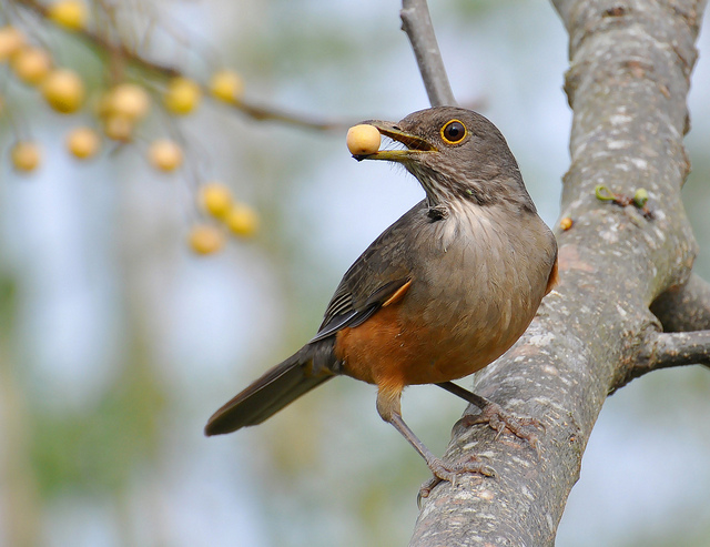 Rufous-bellied thrush is a lovely songbird of South America. Image by Cláudio Timm