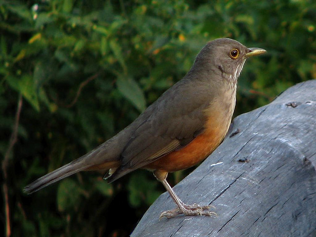 The national bird of Brazil is rufous-bellied thrush. Image by Gustavo (lu7frb)