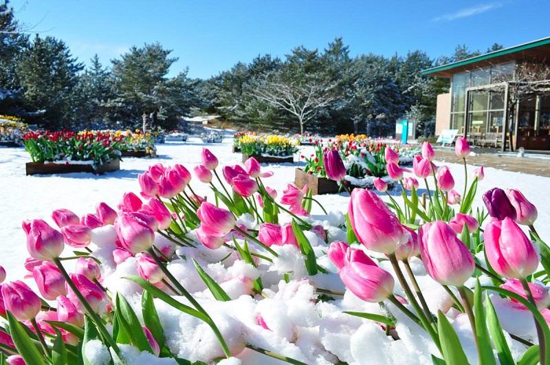 ice-tulip