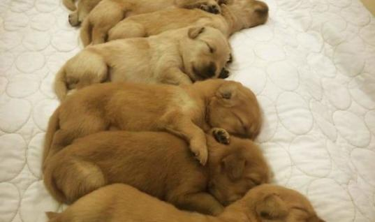 Cutest Golden Retrievers You'll Lay Your Eyes on Today 25 Cutest Golden Retrievers You'll Want to Cuddle With, Cutest Golden Retriever Puppies, 25 Cutest Golden Retriever Puppies, The Most Adorable Puppies, 25 Adorable Puppies, Golden Retriever Puppies, 25 Golden Retriever Puppies, Gorgeous Golden Retrievers, 25 Gorgeous Golden Retrievers