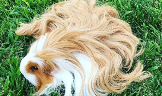 25 Cutest Guinea Pigs With Majestic Hair 25 Cute Guinea Pigs, 25 Cute Guinea Pig Hair, 25 Cute Guinea Pigs With Hair, 25 Amazing Pigs With Hair, 25 Amazing Pigs, 25 Amazing Guinea Pigs With Hair, 25 Luscious Pigs With Hair, 25 Guinea Pigs With Luscious Hair, 25 Guinea Pigs Having Amazing Hair