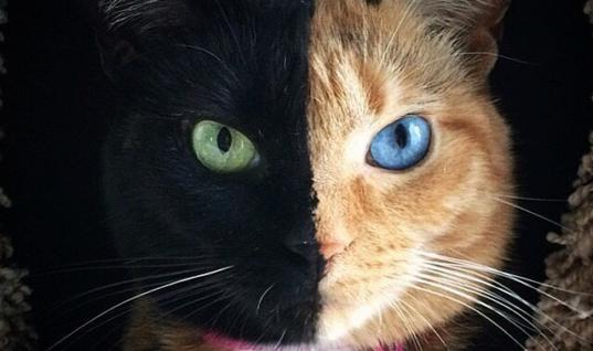 "This Is Venus: The Internet Sensation Cat With Two Faces 25 Adorable Photos Of Venus The Cat With Two Faces, 25 Stunning Photos Of Venus The Cat With Two Faces, 25 Photos Of Venus The Majestic Two-Toned-Faced Cat, 25 Photos Of Venus The Majestic Cat With Two Faces, 25 Stunning Photos Of Venus The Unique Two-Faced Cat, This Is Venus: Instagrams Favorite Cat With Two Faces, This Is Venus: The Internet's Most Popular Cat With Two Faces, This Is Venus: Instagram's Favorite ""Chimera Cat"", 25 Photos Of Venus The Internet Sensation Cat With Two Faces"