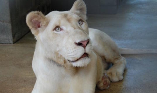 This Lion's Rescuers Were Sure She'd Die. But Your Heart Will Melt When You See What Saved Her