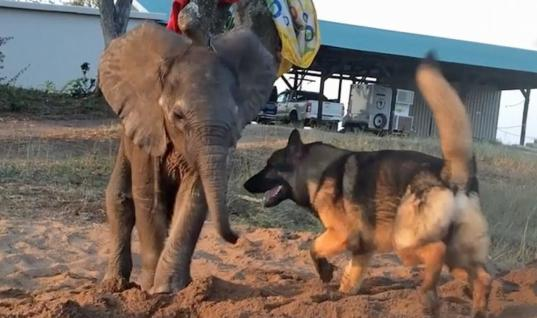 Baby Elephant Left Behind By Pack Was Dying, Until He Met This Unlikely Friend