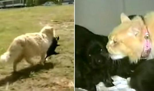 Cat Steals Puppies For The Cutest Reason