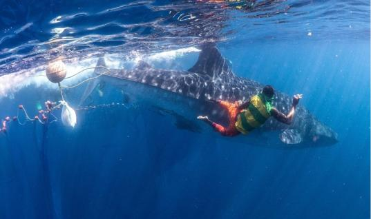 Diver Spots Two Whale Sharks Trapped Inside Fishing Nets, You Won't Believe What He Does Next