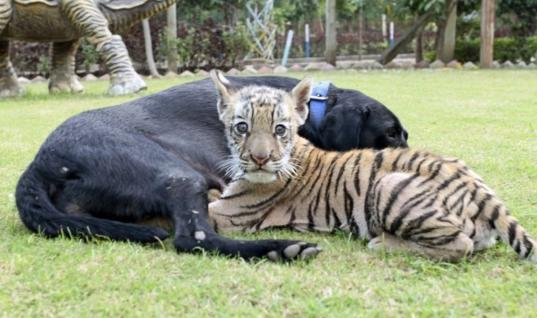 Abandoned Tiger Cub Finds Comfort After Being Adopted By A Black Labrador