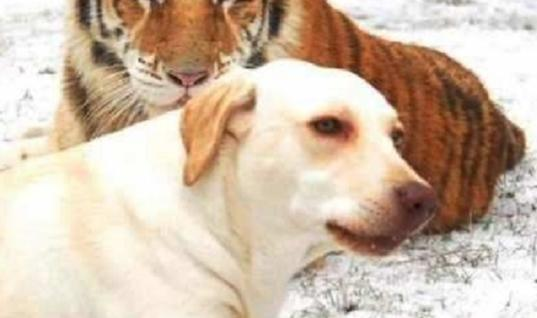 Rescue Dog Meets Two Tigers, Then This Happens