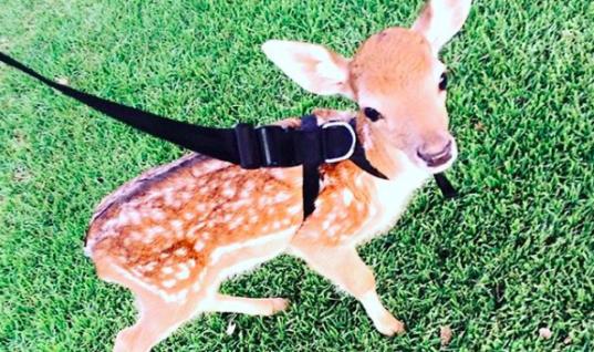 Woman Finds Baby Deer With A Missing Leg, What Happens Next Is Amazing