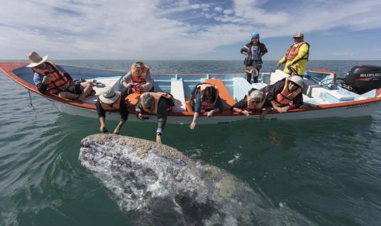 Mother Whale Lifts Her Calf So That Tourists Can Pet Him Too