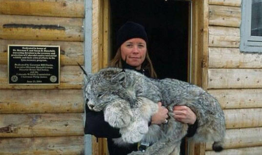 Everyone Loves These Wild Cats Because Of Their Unbelievably Huge Furry Paws