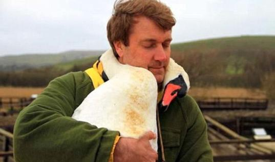 Injured Swan Hugs The Man Who Saved Him