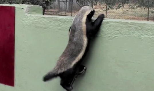 Creative Honey Badger Keeps Finding Genius Ways Of Escaping His Cage