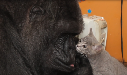 Koko The Gorilla Got Her Dream Gift. She Looked Inside The Box and Our Hearts Completely Melted!
