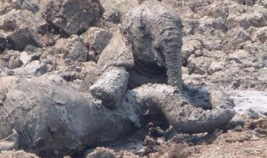Baby Elephant And His Mother Were Sinking In The Mud, Then This Happened