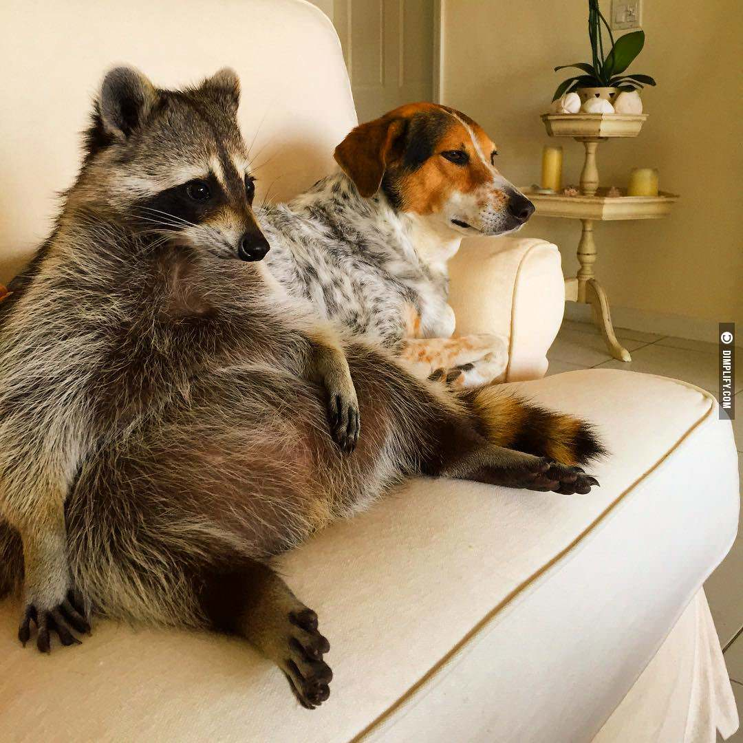 Adorable Raccoon Thinks He\'s A Dog – Mutually