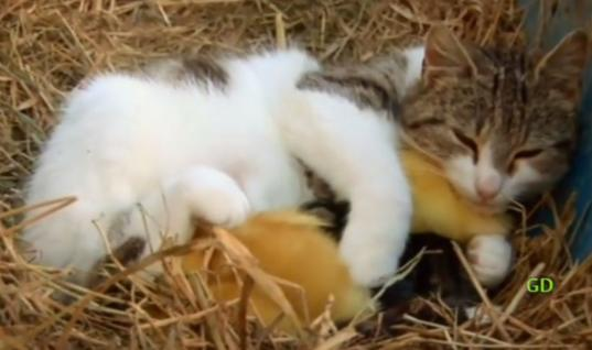 Orphaned Ducklings Get The Surprise Of A Lifetime When Introduced To Their New Mom