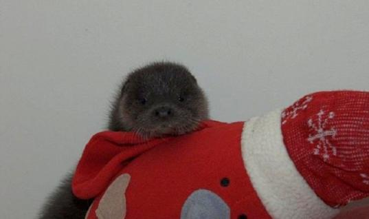 Orphaned Otter Gets A Stuffed Animal To Comfort Her