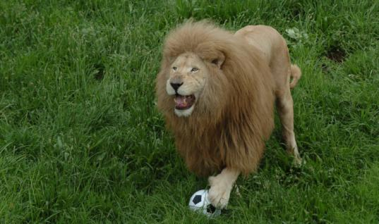 Zoo Lion Shows Off His Soccer Skills To Amazed Tourists