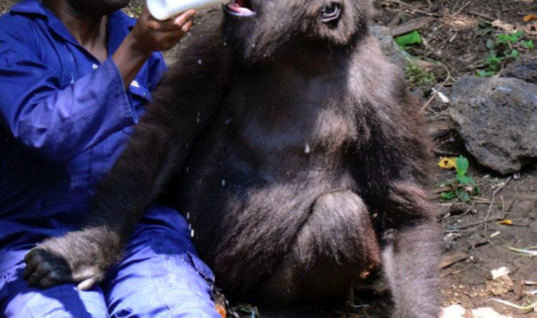 Park Ranger Comforts Gorilla Who Just Lost His Mother, And His Reaction Is Heartbreaking