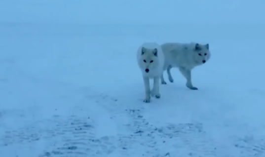 Wild Wolves Get Dangerously Close To A Farmer, But When He Speaks To Them Something Amazing Happens