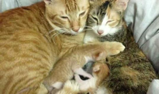 Mama Cat Just Gave Birth To Adorable Kittens. When Papa Cat Sees Them, This Happens