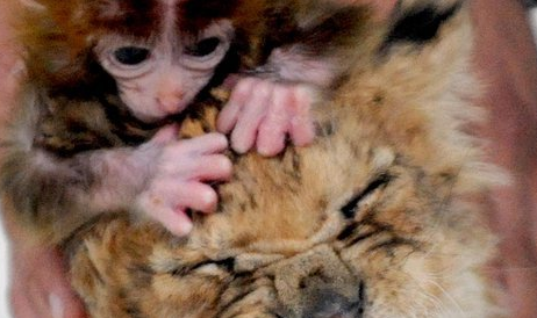 Adorable Baby Monkey Becomes Best Friends With Fierce Baby Lion