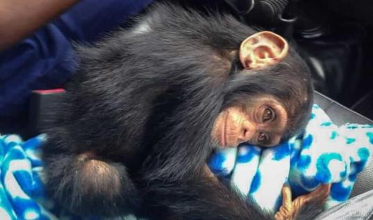 Woman Spots Sad Baby Chimp, Takes One Step Closer And Gasps At Discovery