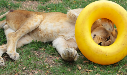 This Lion's Reaction To His New Toy Will Leave You Speechless
