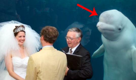 Beluga Whale Photobombs Wedding Photos