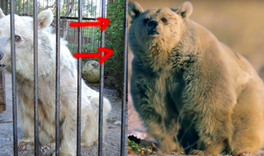 After 30 Years Spent In Captivity, Fifi The Bear Is Finally Happy And Free