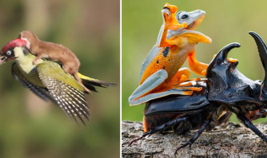 Survival Of The Laziest: Funny Animals Riding Other Animals