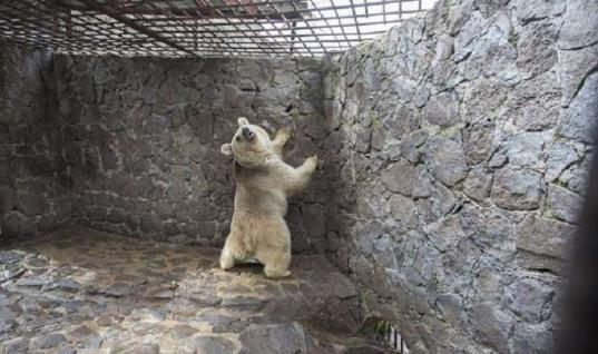 Bear Kept Captive Behind Steel Bars Is Finally Free