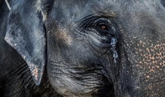 After 73 Years of Abuse This Blind and Deaf Elephant Cries Tears Of Joy As She Is Rescued