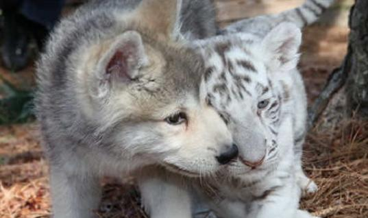 This Unlikely Friendship Between A Wolf And A Tiger Is Too Cute For Words