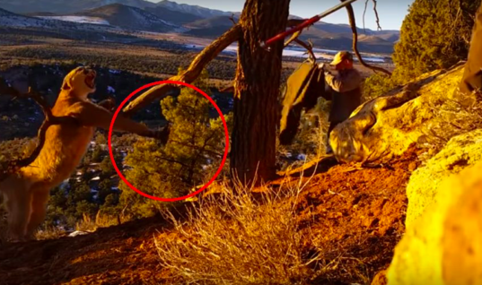 Mountain Lion Tries To Escape Trap – But When This Man Sees It Something Amazing Happens