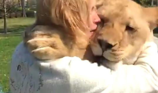 Rescued Lionesses Send Everyone Into Tears After Seeing Their 'Adoptive Mom'