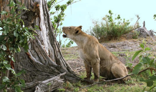 Lioness Finds Scared Baby Baboon, Then A Miracle Happens