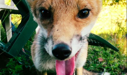 Meet Two Best Friends – A Baby Fox And A Dog Who Love Doing Everything Together