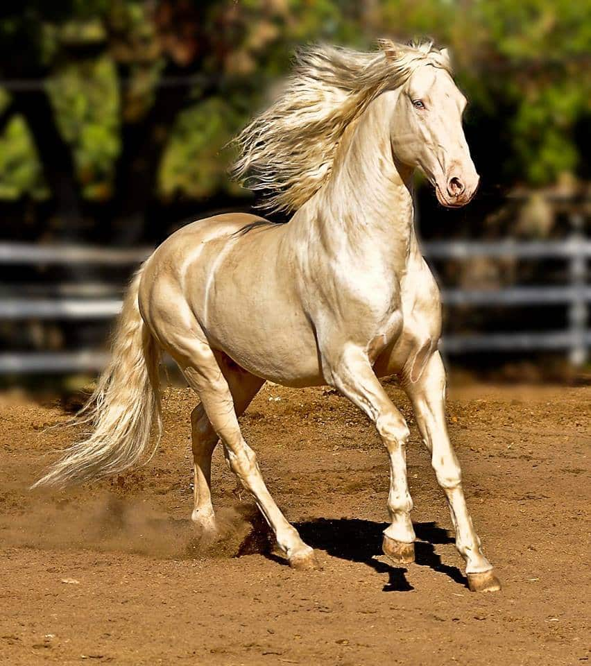 Akhalteke - the most beautiful horse in the world 12