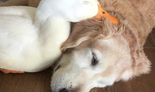 This Dog And Duck Are Best Friends Despite Not Being Birds Of A Feather