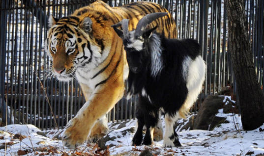 Live Goat Meant To Be Tiger's Dinner Turns Out To Be His Best Friend