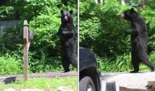 Walking Bear Stuns City Before They Reveal The Horrifying Truth