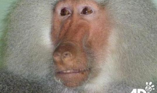 This Circus Baboon Was Finally Rescued. But Then They Saw Tears Pouring Down His Face