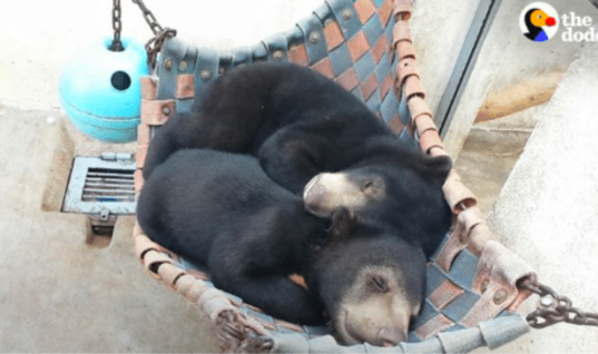 Orphaned Bear Cubs Meet And Become The Best Of Friends