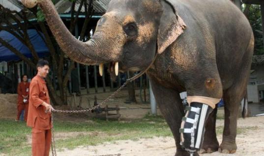Elephants Who Lost Their Legs In Landmines Get On Their Feet Again