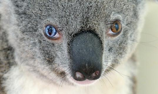 Koala In Need Of Help Approaches Woman On The Side Of The Road, But When She Sees Her Eyes…