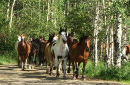 herd of horses running on forest